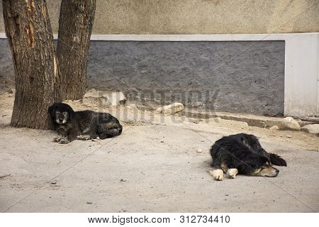 Tibetan Mastiff Or Canis Lupus Familiaris Dog Sleeping Relax On Floor In Leh Ladakh Village In Jammu