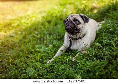 Pug Dog Lying On Green Grass. Happy Puppy Having Rest. Dog Enjoying Nature