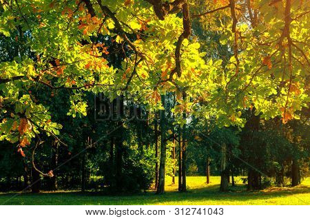 Fall leaves background - fall oak tree branch with orange foliage lit by sunshine, sunny fall landscape in bright sunlight, free space for text