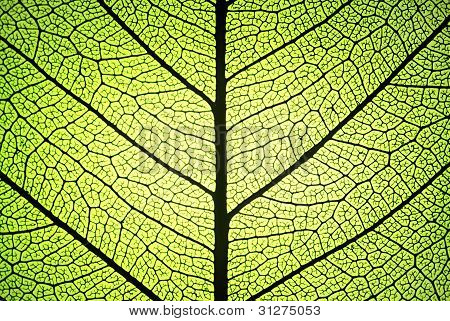 leaf detail showing ribs and veins in backlight poster