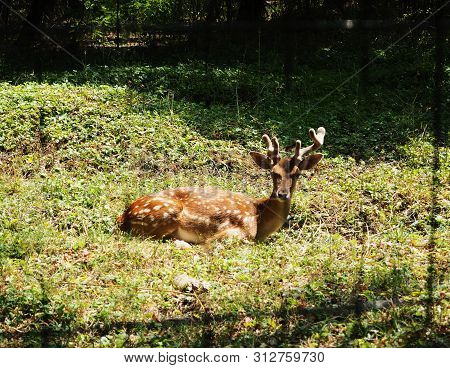 Closeup Of Fallow Deer Lying On The Ground Facing The Camera
