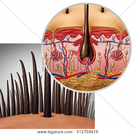 Hair Follicle Anatomy Diagram Dermitology Medical Concept As Human Hairs With A Shaft Emerging From