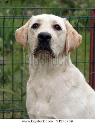 A Young Yellow Labrador