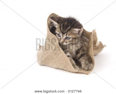 A tabby kitten hides inside of a small bag on white background poster