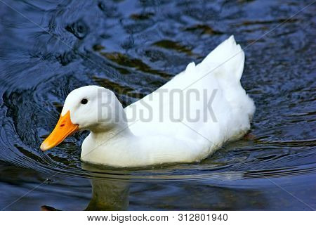 Amazing White Duck Swims In Lake Or River With Blue Water Landscape. Close-up Of Funny White Duck. V