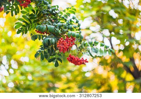 Green Branches With Bunches Of Red Rowan( Sorbus Aucuparia, Tree Mountain Ash) On A Blurred Backgrou