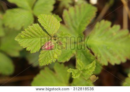 Rubus Arcticus, The Arctic Bramble, With Bud.