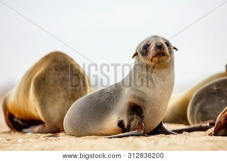 Baby seal at Pelican point coast in Namibia