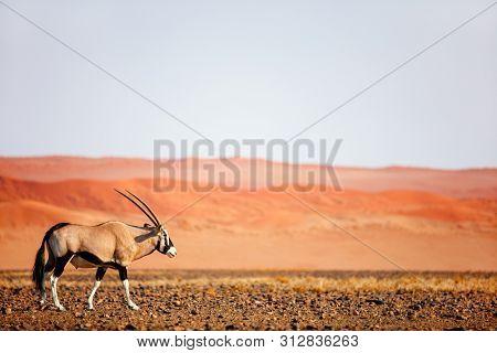 Oryx antelope walking against red sand dunes of Sossusvlei in Namib desert Namibia