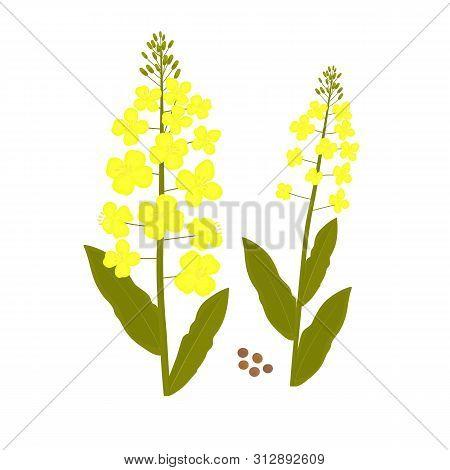 Canola Flower. Rape Plant And Seed Vector Illustration.