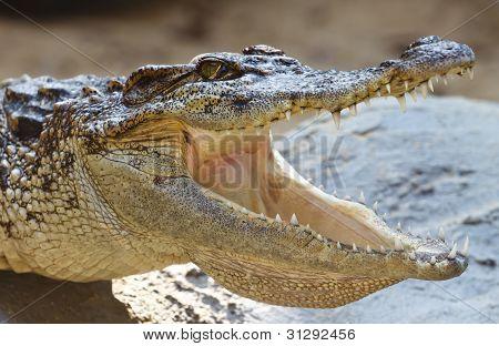 The Crocodile