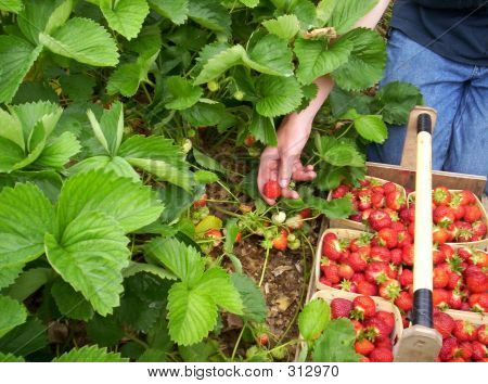 Young Man Picking Strawberries