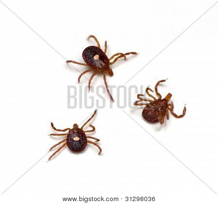 Lone Star Tick (Amblyomma americanum) on a white background poster
