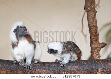 Cotton-top Tamarin Social Interaction With Young Monkey