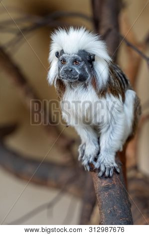 Cotton-top Tamarin On Tree Branch. Saguinus Oedipus