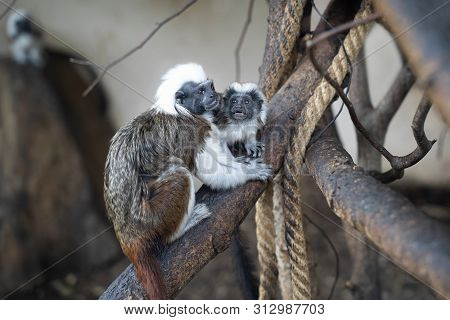 Cotton-headed Tamarin In Interaction With Small Baby Tamarin. Saguinus Oedipus