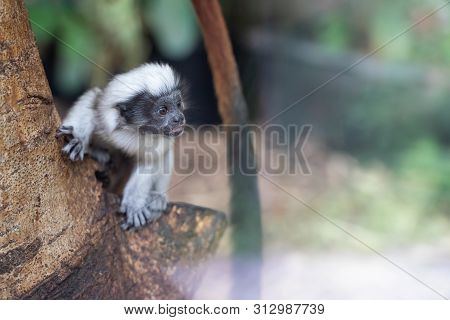 Curious Baby Cotton-headed Tamarin On The Tree Trunk. Saguinus Oedipus.