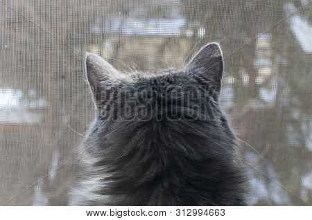 Grey Cat Looking Trough Window Mosquito Net Closeup