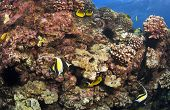 Reef Scene in Kona Hawaii with Morish Idol and Butterfly Fish poster