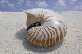 Nautilus macromphalus shell on the sandy beach poster