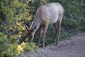 view of elk female eating in grand canyon NP poster