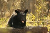 A black bear defends his vast territory, and his log poster
