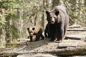 A mother bear and cubs traveerse a log pile poster