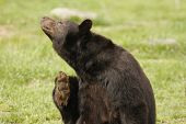 A large black bear scratches like a poster