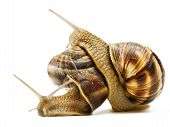two snails macro crawling on top of each other poster