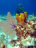 Sea Fan and Sponge on a colorful Cayman Island Reef poster