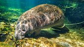 Orphan juvenile Manatee swimming in a Florida spring after being released and wearing a monitor.  He stayed in the spring after the other manatees migrated to the ocean as he did know to follow the adult manatees to the ocean. poster