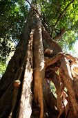 The lower part of the tree trunk with huge, monstrous roots. The trunk of a huge tropical tree. poster