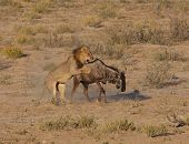 Male african lion hunting down a blue wildebeest poster