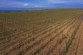 Aerial View Of Vineyard Surrounded By The Sea In Marlera, Istria, Croatia