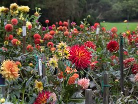 Dahlia Garden With Different Types Of Colorful Dahlias.