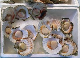 Closeup Of Fresh Scallops With Shells At The Rialto Market In Venice.