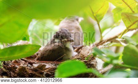 Little Red-whiskered Bulbul (pycnonotus Jocosus) Bird Living In A Bird's Nest.