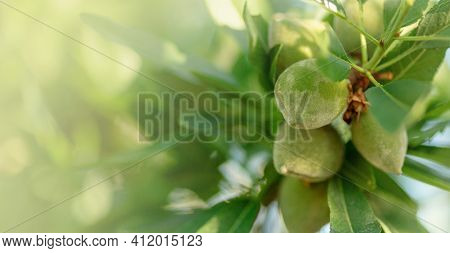 Green Almond Branches And Fruits Or Nuts Outside In Garden Natural Blurred Background. Leaves And Yo