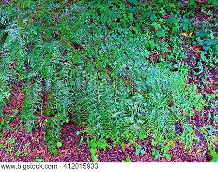 Cedar Branch - A Ground-level Western Red Cedar Branch Along Fr400 By Canyon Creek - Northwest Of Ca