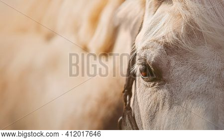 Portrait Of A White Beautiful Horse With A Halter On Its Muzzle And Brown Eyes, Illuminated By Warm