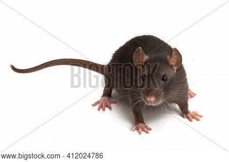 Rat Look Animal  Isolated On White Background