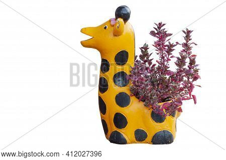 Pink Calico Plant Or Alternanthera In Pot In The Garden Isolated On White Background Included Clippi