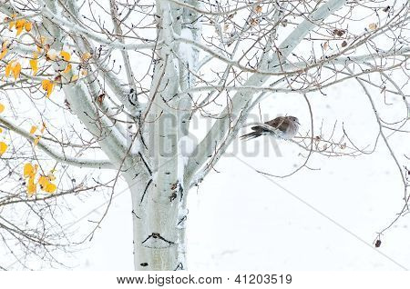 Collared Dove In An Aspen Tree