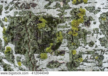 White Bark Of Populus Alba With Bright Yellow And Green Lichen And Moss