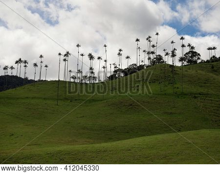 Outdoor Nature Landscape Panorama Of Tall Wax Palm Trees In Valle Del Cocora Valley In Salento Quind