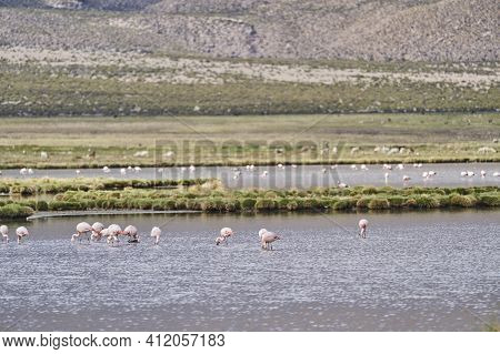Flock Of Pink Chilean Flamingos, Phoenicopterus Chilensis, Wading Through A Lake At High Altitude In