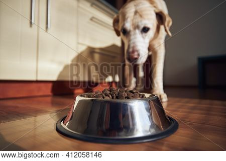 Feeding Of Hungry Dog. Labrador Retriever Eating Granule From Metal Bowl At Home Kitchen.