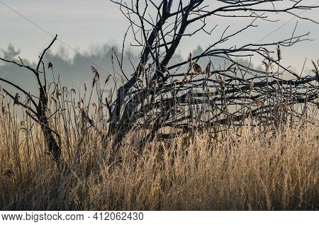 Morning In The Wetlands - Dwarf Tree And Reeds In The Bogs