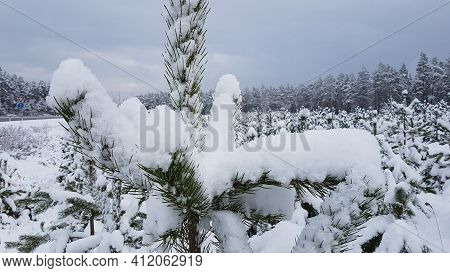 Forestry In The Far North Of Europe. Forest Skirt; Outer Wood Of Coniferous Forest After A Snowfall.