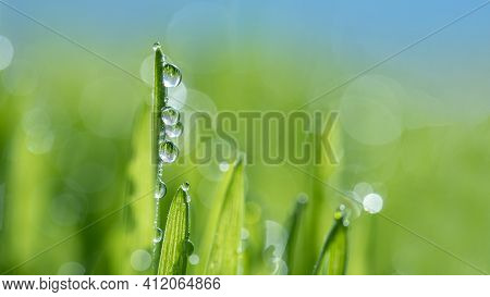 Macro Close-up Of Organic Wheatgrass Sprouts. Beautiful Water Drop Sparkle In Sun On Leaf In Sunligh